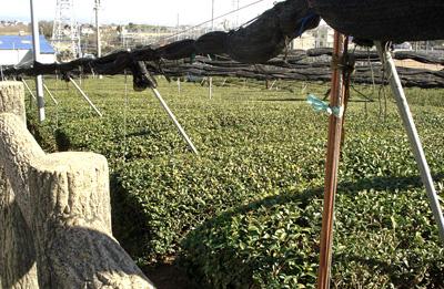 Matcha Source tea fields in Japan